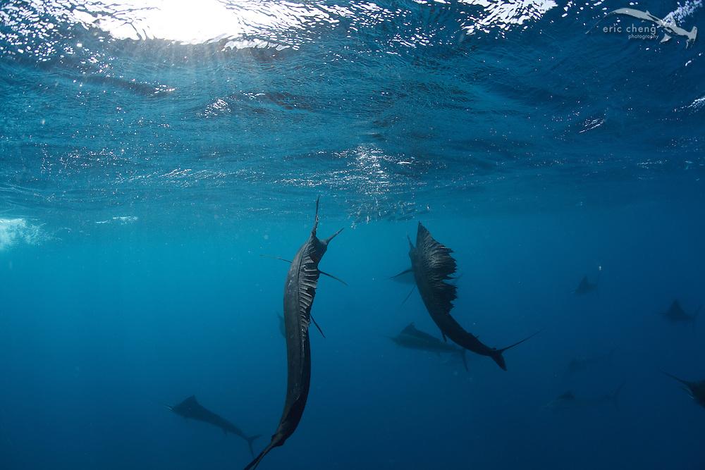 Atlantic sailfish (Istiophorus albicans) hunt sardine baitballs in Isla Mujeres, Mexico.