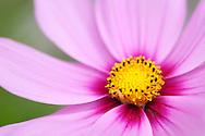Macro shot of beautiful pink flower with yellow core