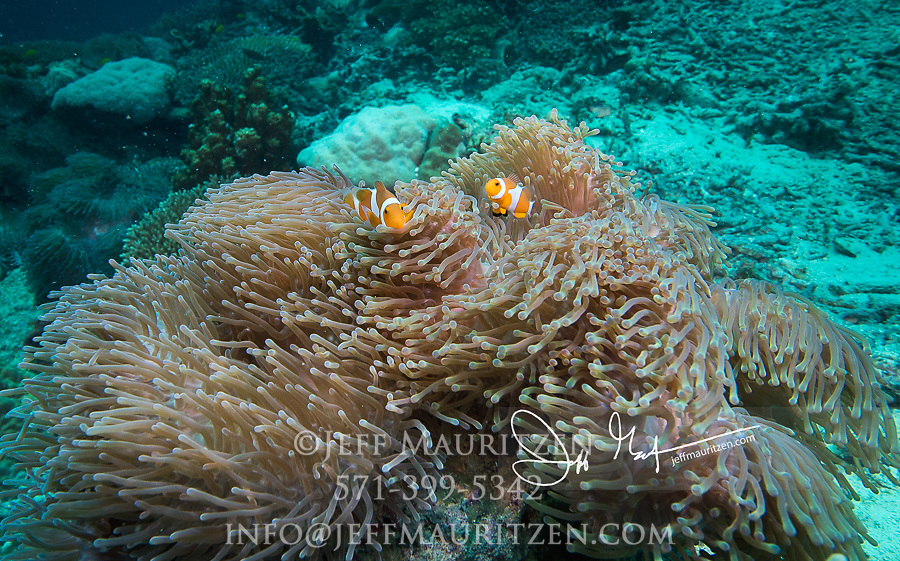 Two False clownfish swimming in an anemone near the Badas islands, Indonesia.