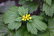 Large-leaved Avens (Geum macrophyllum) flowers and leaves on the forest floor at Campbell Valley Regional Park in Langley, British Columbia, Canada. The fruits (not pictured) of Avens are a ball of tiny velcro like hooks that catch on passing animal's hair for seed distribution.