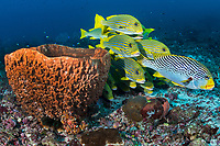 Sweetlips hold in the lee of the current behind a Barrel Sponge <br /> <br /> Shot in Indonesia