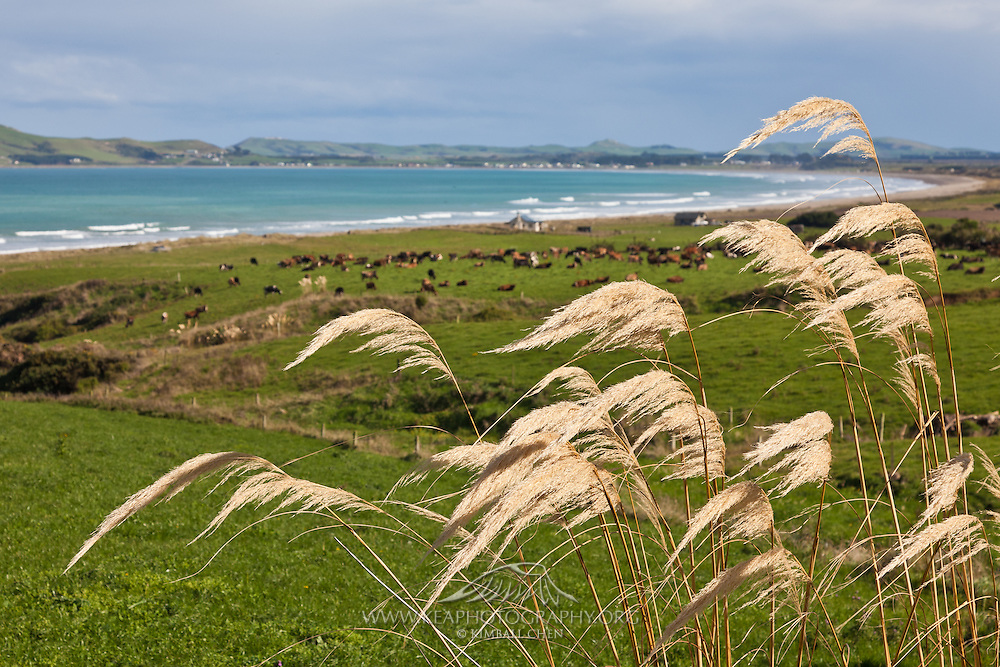 elephant grass at Colac Bay, Southland, New Zealand