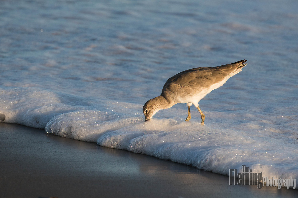 A Willet forages in the surf, Bodega Bay, California