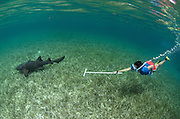 Nurse Shark (Ginglymostoma cirratum) & Cecilia guerrera monitoring<br /> Shark Ray Alley<br /> Hol Chan Marine Reserve<br /> near Ambergris Caye and Caye Caulker<br /> Belize<br /> Central America