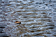 A leaf suspended on the rippled surface of a small pond in Cape Cod National Seashore.