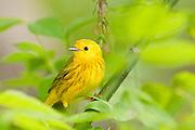 Yellow Warbler, Setophagapetechia, male, Magee Marsh, Ohio