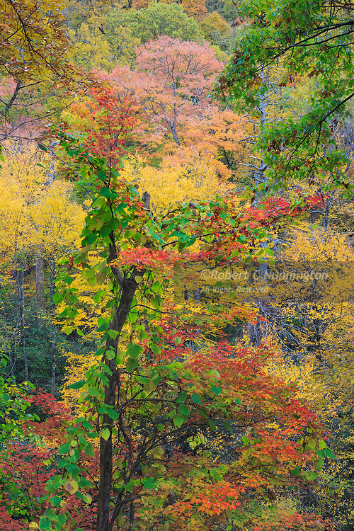 Soft overcast light brings out the diverse colors of the many plant species for which the Smokies are renowned. Chimneys area, Great Smoky Mountains National Park, Tennessee, USA.