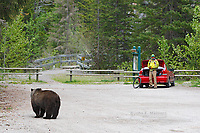 Grizzly bear encountering a person