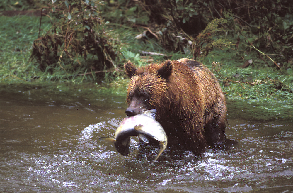 Brown Bear eating Salmon in Creek, (Ursus arctos)