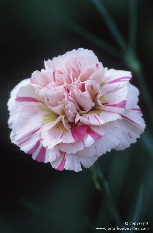 Dianthus 'Devon Pearl'- Carnation, Pink