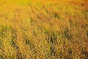 Flax<br /> Rosenhof<br /> Saskatchewan<br /> Canada