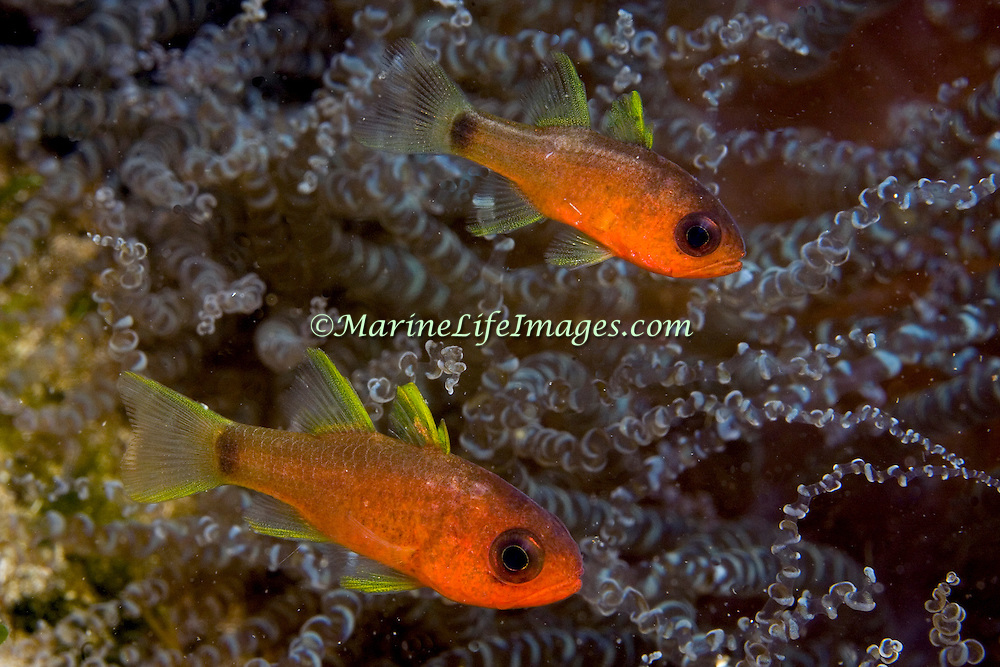 Sawcheek Cardinalfish inhabit reefs, clinging in and around the protective zone of an anemone's tentacles in Tropical West Atlantic; picture taken St. Vincent.