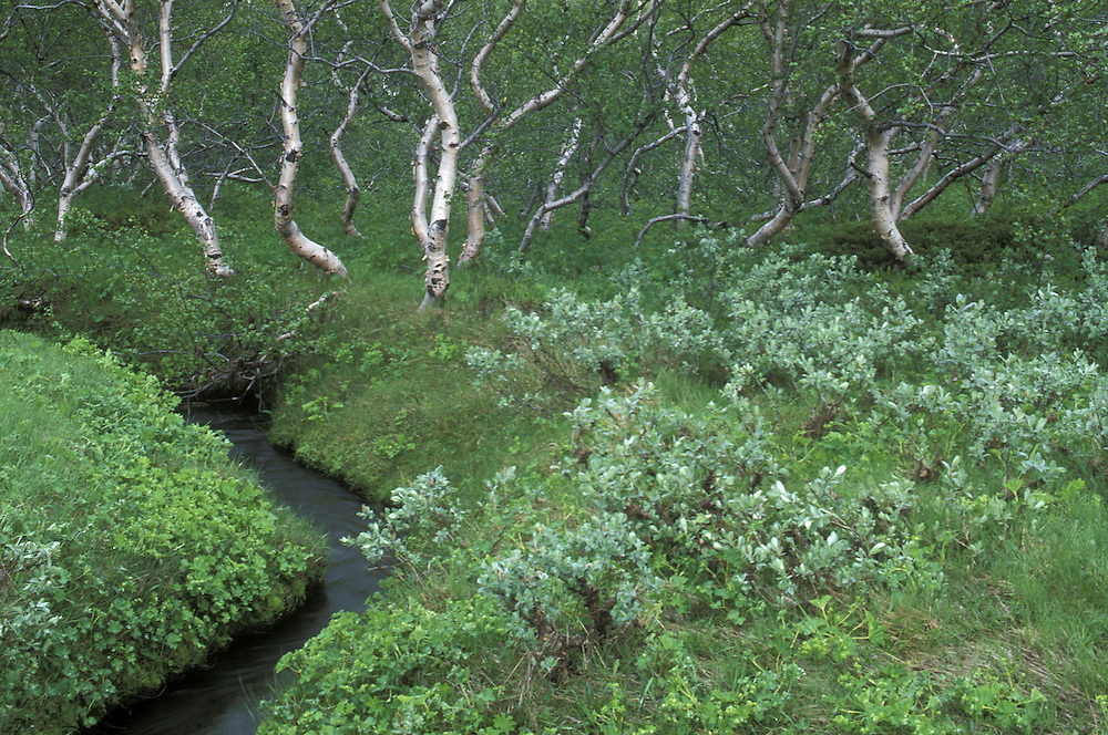 Europe, Iceland, Jökulsargljufur National Park, Birch forest along small stream in Vesturdalur (West Valley) in early summer