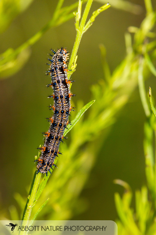 Common Buckeye (Junonia coenia) caterpillar<br /> United States: Alabama: Tuscaloosa Co.<br /> Tulip Tree Springs off Echola Rd.; Elrod<br /> 5-Sep-2016<br /> J.C. Abbott #2864