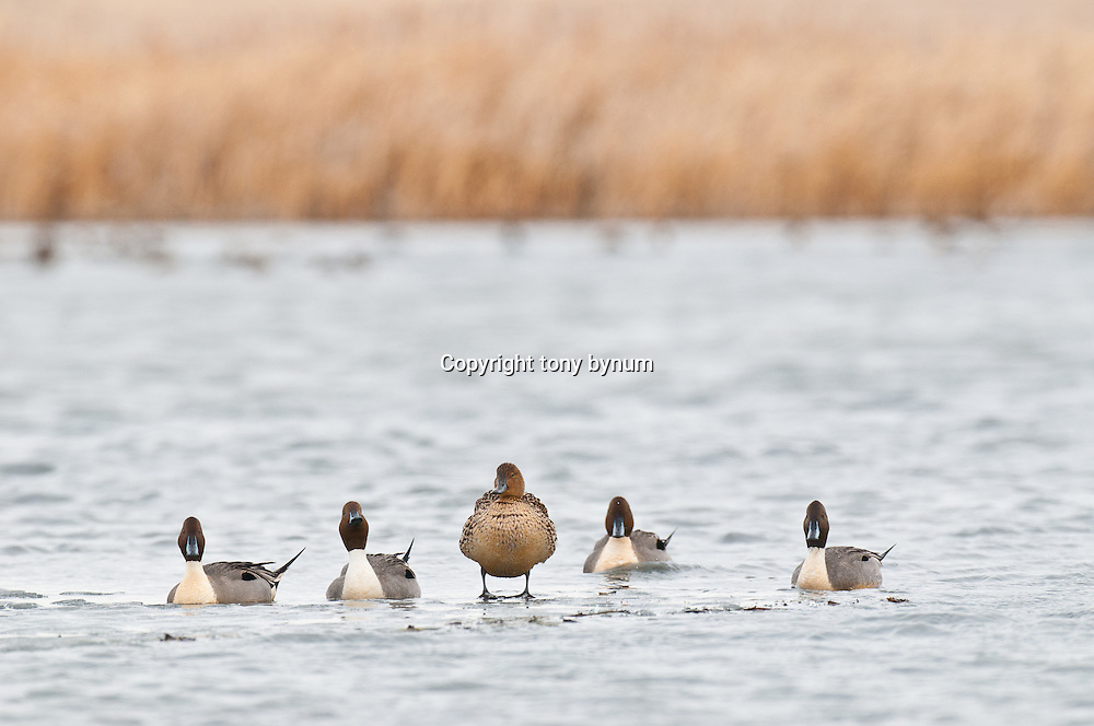 nothern pintail ducks resting on water, hen on ice