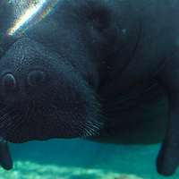 Water ripples reflect on the visage of Buffett, a 19-year-old, 1800lb. manatee, coasts through a shaft of light in his habitat at Mote Marine Laboratory in Sarasota, Fla., on Wednesday, August 23, 2006.  (PHOTO/CHIP LITHERLAND)