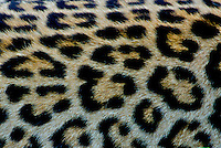 Leopard (Panthera pardus) close up of spots pattern
