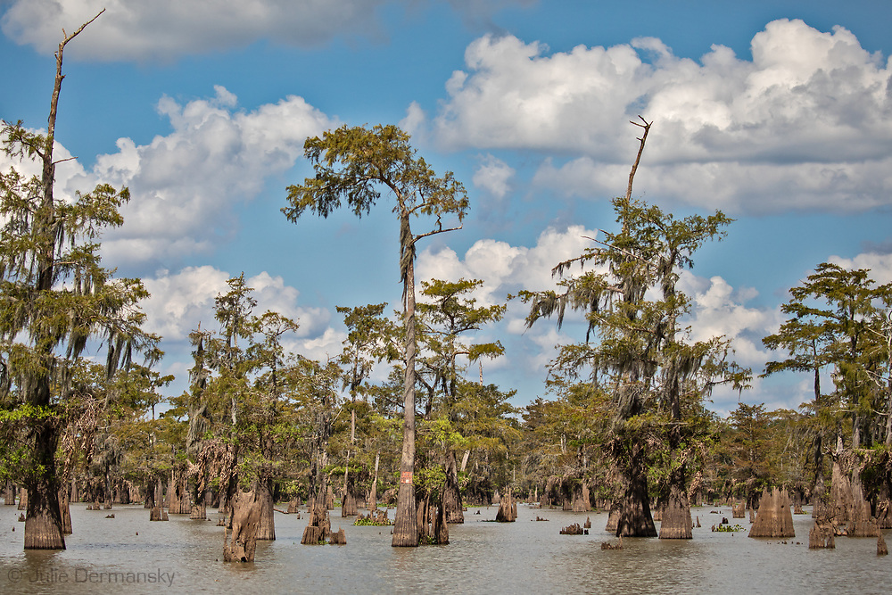 Cypress-tupelo swamps in the Atchafalaya Basin.