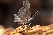 Polygonia gracilis zephyrus - Zephyr Anglewing