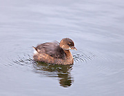 Young Pied Billed Grebe fluffing down