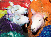 Latitude Sheep 21st April 2015