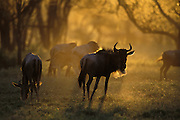 Wildebeest<br /> Connochaetes taurinus<br /> At sunset<br /> Ngorongoro Conservation Area, Tanzania