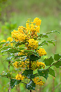 Tall Oregon-grape, Mahonia aquifolium, the State Flower of Oregon.