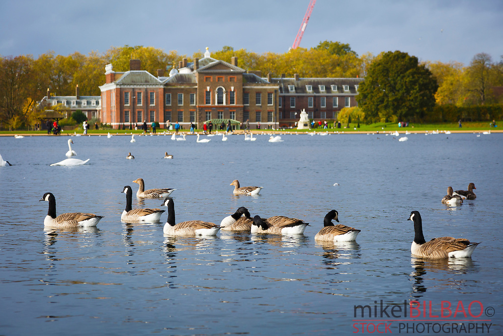 Canada goose flock. Round Pond. Kensington Gardens. London, England, United kingdom, Europe.