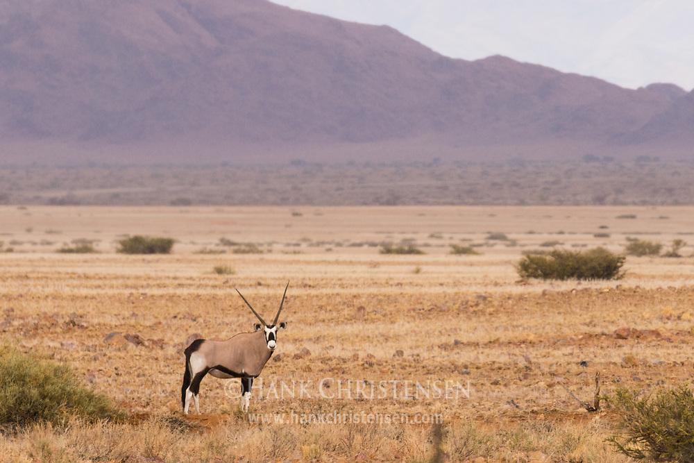 A gemsbok oryx stands in the dry desert savanna of western Namibia.