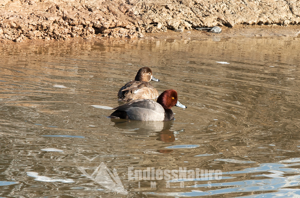 A pair of Redhead ducks looks to already be paired up for nesting season at the end of February.