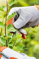 Close up of gardener examining plant leaves