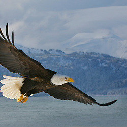 Bald Eagle along Alaska's north coast with Kenai Mountains in the background. Alaska