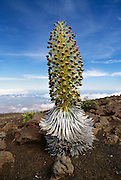 Silversword plant in full bloom, Haleakala, Maui, Hawaii