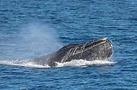 Humpback whale surfacing showing baleen off Cabo San Lucas, Baja California, Mexico.