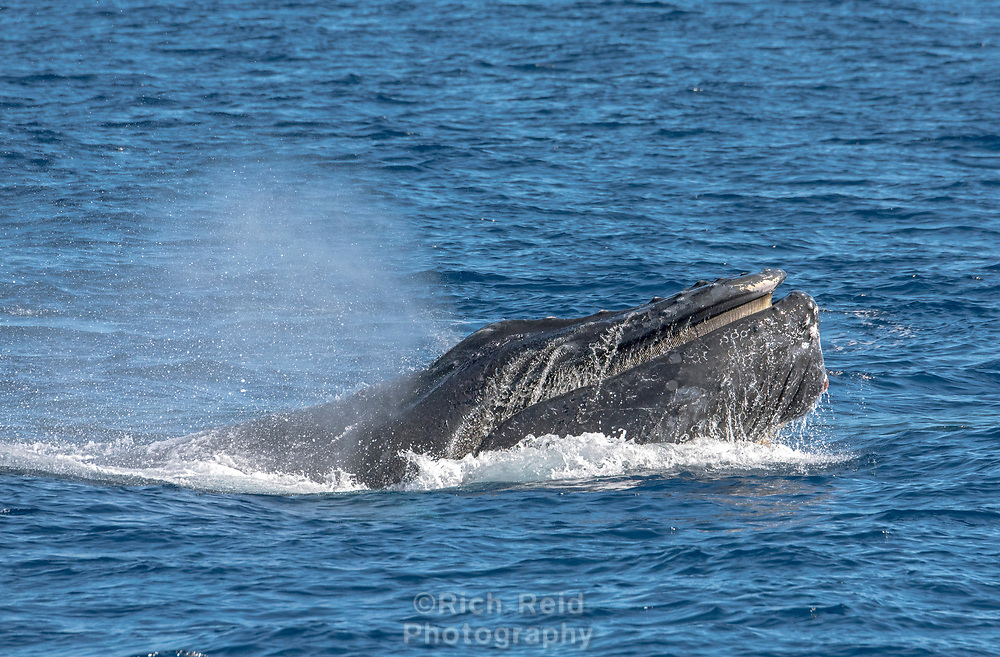 Humpback whale surfacing showing baleen off Cabo San Lucas, Baja California, Mexico.