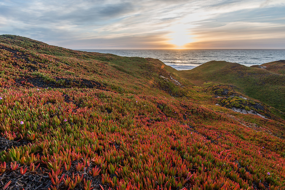 Sunset over a field of ice plant in Marina, near Monterey, California.