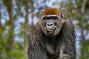 Gorilla in the San Diego Safari Park