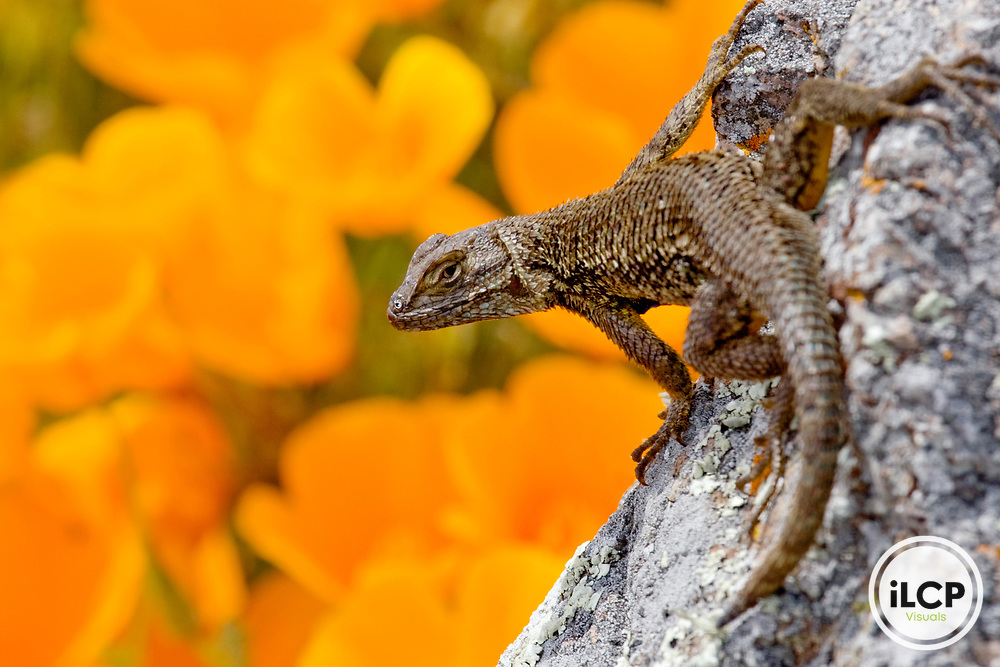 Western Fence Lizard (Sceloporus occidentalis) male on rock with California Poppy (Eschscholzia californica) flowers in background, San Simeon, Big Sur, California