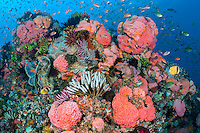 Anthias and Cup Corals create an explosion of pinks and oranges<br /> <br /> Shot in Indonesia