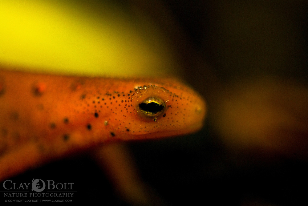 Prior to becoming mature adults, eastern newts (Notophthalmus viridescens) spend a season or more wandering their native woodlands in an intermediate form known as the eft stage.  Eventually, the efts will return to the water -often the pool of their birth- and become adult newts.
