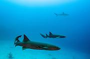 Nurse Shark (Ginglymostoma cirratum) & Caribbean Reef Shark (Carcharhinus perezi)<br /> Marine Megafauna Research. Large marine fish, sharks, rays & turtles.<br /> MAR Alliance<br /> Halfmoon Caye<br /> Lighthouse Reef Atoll<br /> Belize<br /> Central America