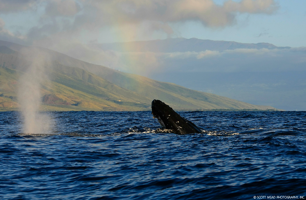 Pacific Humpback Whale off the coast of Maui Hawaii in the Central Pacific Ocean off the Coast of Maui, Rainbow