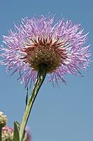 Basket Flower (Centaurea americana), Austin County, Texas