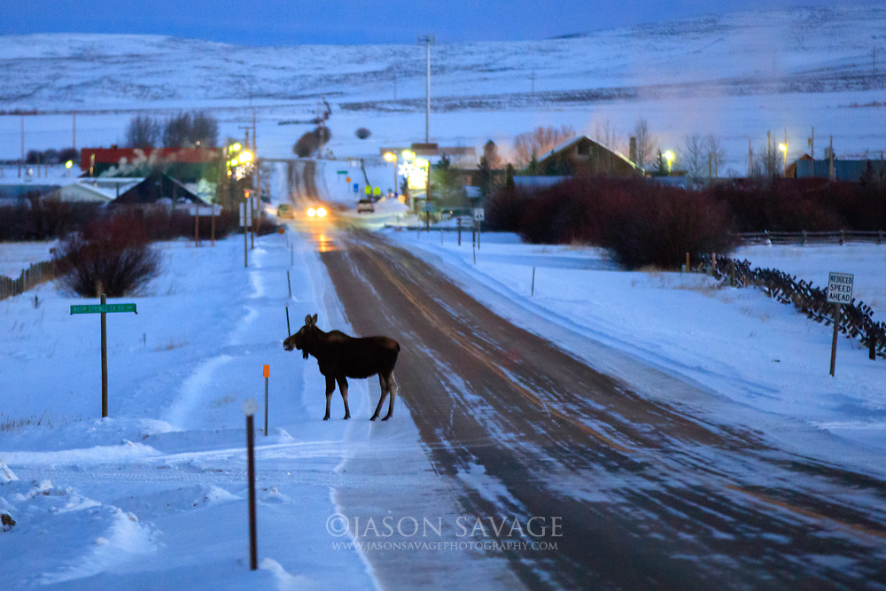 Moose crossing the street in Jackson, Montana.