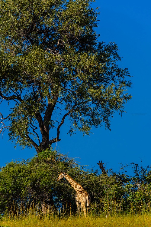 Giraffes eating leaves from a tree, Kwando Concession, Linyanti Marshes, Botswana.