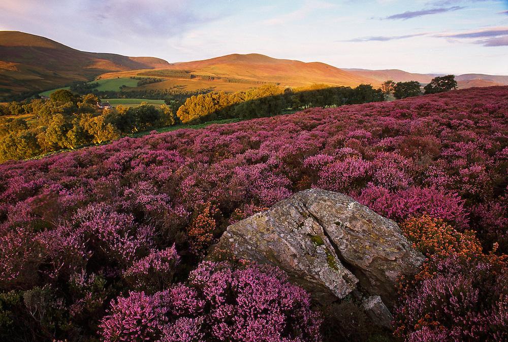 Heather moorland in bloom, Glen Esk, Scotland