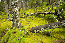 Fallen logs decay into the mossy forest floor in this old spruce forest on Isle Au Haut in Maine's Acadia National Park.  Duck Harbor Trail.