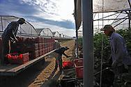 Aprilia (LT), 13/08/2010: Azienda agricola in via Pantanella che utilizza bracciantato indiano originario del Punjab e di religione Sikh - Farm in Pantanella street using  Sikh Indian laborers native of Punjab