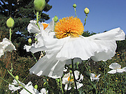 "It's easy to see how these poppies came by their common name, ""Fried Egg Flowers."