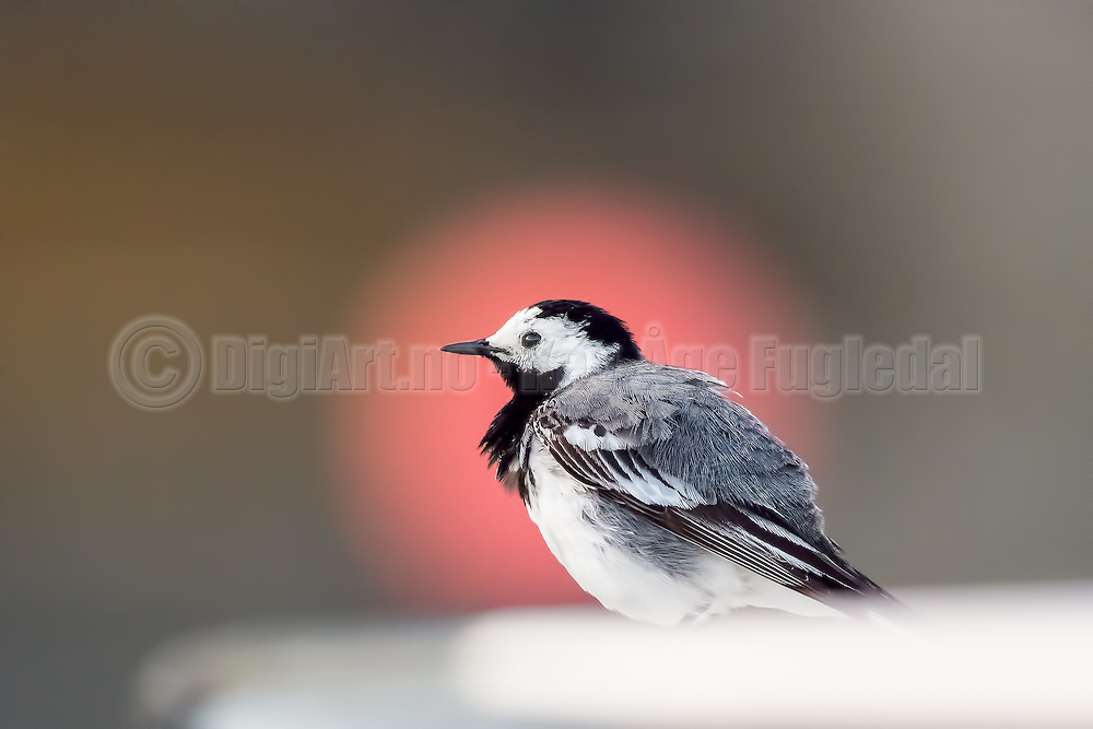 White Wagtail | Linerle